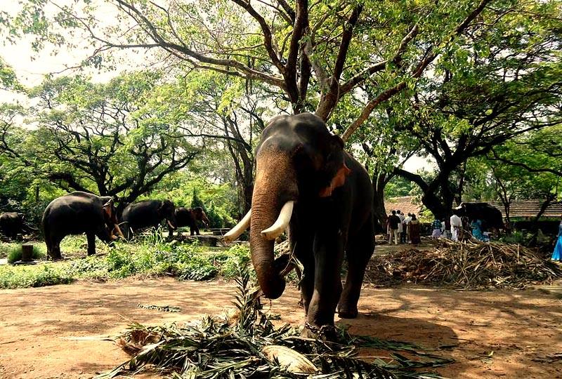 Punnathur Kotta - Elephant Sanctuary